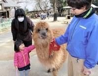 「あったかくて気持ちいい」とアルパカに大喜び=埼玉県東松山市の県こども動物自然公園で