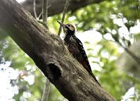 世界中で奄美大島の森だけにすむキツツキ・オーストンオオアカゲラ=鹿児島県・奄美大島で、フリーカメラマン・尾上和久さん撮影