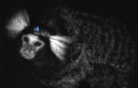 生きたまま脳が発光しているマーモセット=理化学研究所提供