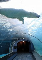 A polar bear is seen swimming on March 9, 2018, at a new exhibit set to open at Sapporo Maruyama Zoo, in Sapporo's Chuo Ward. (Mainichi)