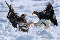 流氷の上で競り合うオオワシ=北海道・知床の羅臼町沖で2018年2月27日、梅村直承撮影