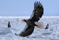 流氷の上で羽ばたくオオワシ=北海道・知床の羅臼町沖で2018年2月27日、梅村直承撮影