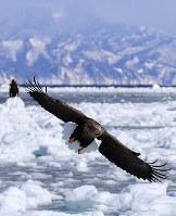流氷の上で羽ばたくオジロワシの背景には知床連山が見える=北海道・知床の羅臼町沖で2018年2月27日、梅村直承撮影