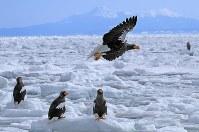 流氷の上で羽ばたくオオワシの背景には国後島が見える=北海道・知床の羅臼町沖で2018年2月27日、梅村直承撮影
