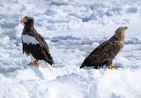 流氷の上で羽を休めるオオワシ(左)とオジロワシ=北海道・知床の羅臼町沖で2018年2月27日、梅村直承撮影