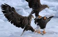 流氷の上で競り合うオオワシ(右)と競り合うオジロワシ=北海道・知床の羅臼町沖で2018年2月27日、梅村直承撮影