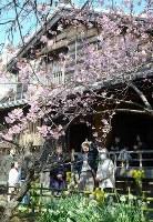 一般公開された武家屋敷原田家の庭で、優雅に咲く蜂須賀桜=徳島市かちどき橋3で2018年3月10日、蒲原明佳撮影