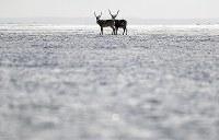 Hokkaido deer are seen with a