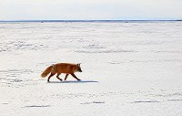 A northern fox is seen with a
