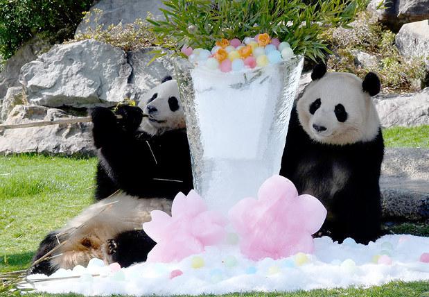 パンダ 3頭に氷の花束贈る 白浜 アドベンチャーワールド 和歌山