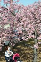 満開の河津桜=茨城県取手市寺田で2018年3月14日、安味伸一撮影
