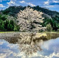 別れと出会いを象徴する桜=島根県美郷町で2017年4月、日本写真家協会会員・船津健一撮影