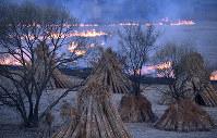 刈り取り後のヨシ原にいくつもの帯状の炎が広がる。手前のヨシの束は文化財などの屋根に使われる=京都市伏見区の宇治川河川敷で、小松雄介撮影