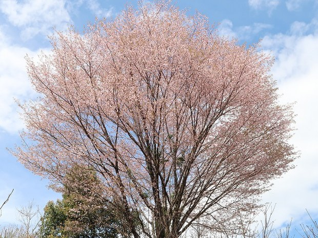 New Wild Cherry Tree Species Discovered In Japan For First Time In