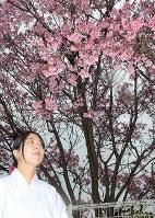 見ごろを迎えた亀山八幡宮のおかめ桜=山口県下関市中之町で2018年3月15日、上村里花撮影