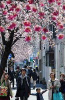 見ごろを迎えたオオカンザクラとカンヒザクラの桜並木=名古屋市東区で2018年3月14日、木葉健二撮影
