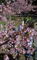 咲き誇る「河津桜」をスマホでパチリ=大分県日田市求町で2018年3月17日、楢原義則撮影
