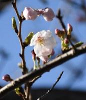 開花した標本木のソメイヨシノ=長崎市南山手町の長崎地方気象台で2018年3月17日、今野悠貴撮影