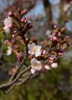 開花した標本木の桜=静岡市駿河区で2018年3月18日、井上知大撮影