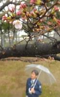 雨の中開花した福岡管区気象台の桜の標準木=福岡市中央区で2018年3月19日、徳野仁子撮影