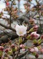 花を咲かせ始めた「高田千本桜」=奈良県大和高田市で2018年3月19日、藤原弘撮影
