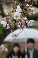 名古屋で開花が発表されたソメイヨシノ=名古屋市昭和区の鶴舞公園で2018年3月19日、兵藤公治撮影