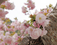 The Yokowa cherry tree was recognized by the Flower Association of Japan as a new variety. (Photo courtesy of the Yokowacho revitalization committee)
