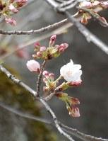 開花したソメイヨシノ=京都市中京区の元離宮二条城で、2018年3月22日、国本ようこ撮影