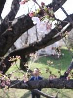 5、6輪の開花が確認された大分地方気象台のソメイヨシノの標本木=大分市長浜町の大分気象台で2018年3月23日、田畠広景撮影