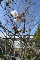 平年より早く開花した標本木のソメイヨシノ=徳島市大和町2の徳島地方気象台で2018年3月23日、大坂和也撮影