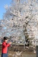 満開になった江戸彼岸桜をスマホのカメラで撮影する子供=茨城県坂東市辺田の歓喜寺で2018年3月25日、鈴木加代子撮影