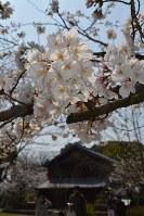 坂本繁二郎旧アトリエを背景に、見ごろを迎えた桜=福岡県久留米市野中町で2018年3月25日、高芝菜穂子撮影
