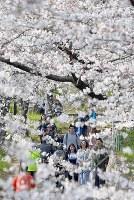 見ごろを迎えた桜並木を歩く人たち=大阪市都島区で2018年3月25日、川平愛撮影