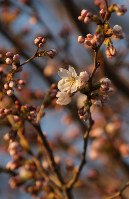 開花が確認されたソメイヨシノの標本木=宇都宮市明保野町で2018年3月26日、野田樹撮影