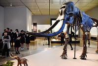 狩猟をイメージしてもらうため、ナウマンゾウの全身骨格模型も展示している=島根県出雲市の県立古代出雲歴史博物館で、山田英之撮影