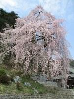 見ごろを迎えた青梅市の梅岩寺のしだれ桜=東京都青梅市内で2018年3月28日、熊谷泰撮影