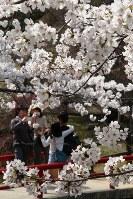 桜が満開となり、偕楽公園は多くの花見客でにぎわった=三重県津市で2018年3月29日山本萌撮影