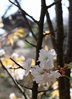 小さな白い花を咲かせた中将姫ゆかりの桜=奈良県葛城市の当麻寺塔頭・中之坊で2018年3月29日、藤原弘撮影