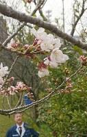 薄いピンク色の花を咲かせた標本木=金沢市西念3の金沢地方気象台で2018年3月29日、久木田照子撮影