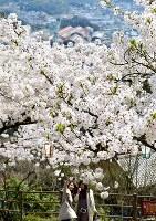 満開の桜の下で記念撮影する花見客=広島県尾道市の千光寺公園で2018年3月30日、渕脇直樹撮影