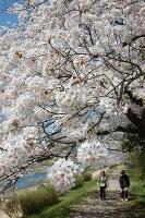 見ごろを迎えた賀茂川の桜=京都市左京区で2018年3月30日、国本ようこ撮影
