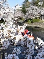咲き誇る満開の桜=富山市の松川べりで2018年3月30日、青山郁子撮影
