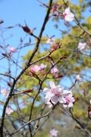 30日に咲き始めた宇宙桜=兵庫県伊丹市立こども文化科学館で2018年3月31日、石川勝義撮影