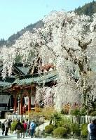 満開のしだれ桜を写真に収める観光客ら=山梨県身延町の久遠寺で2018年3月31日、山本将克撮影