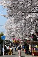 サクラが満開になった新川沿いでは出店が並び、花見客でにぎわった=栃木県宇都宮市花園町で2018年3月31日、野田樹撮影