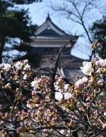 開花した松本城外堀の桜=長野県松本市で2018年4月1日、小川直樹撮影
