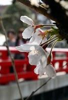 開花が発表された中橋東詰北側のサクラ=岐阜県高山市で2018年4月2日、大竹禎之撮影