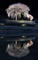 ライトアップで幻想的に水田に映る「水戸野のシダレザクラ」=岐阜県白川町水戸野で2018年4月2日、兵藤公治撮影