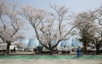満開を迎えた東京電力福島第1原発構内の桜並木の下を歩く作業員ら=福島県大熊町で2018年4月4日午前11時58分、喜屋武真之介撮影