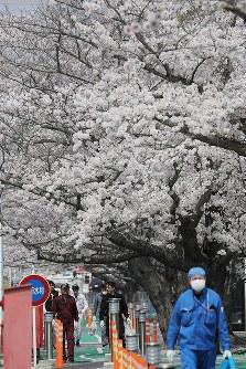 満開を迎えた東京電力福島第1原発構内の桜並木の下を歩く作業員ら=福島県大熊町で2018年4月4日午後0時13分、喜屋武真之介撮影